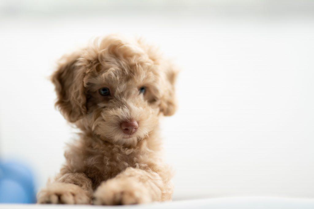 medium-coated tan puppy on white textile